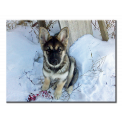 Malamute-Shepherd Puppy in the Snow - Wall Canvas (Chewbacca The Mal-GSD-Wolf)